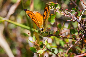 A male common copper (Lycaena salustius) resting with wings partially open, Cape Kidnappers, Hawkes Bay, New Zealand, November.  -  Brent  Stephenson