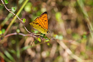 Male Common copper (Lycaena salustius) resting with wings partially open, Cape Kidnappers, Hawkes Bay, New Zealand, November.  -  Brent  Stephenson
