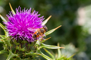 Male Common drone fly (Eristalis tenax) on a Variegated / Milk thistle (Silybum marianum) flower, Cape Kidnappers, Hawkes Bay, New Zealand, November.  -  Brent  Stephenson