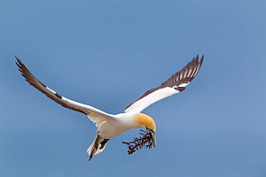 Australasian gannet (Morus serrator) flying with nesting material in its bill, Cape Kidnappers, Hawkes Bay, New Zealand, November.  -  Brent  Stephenson