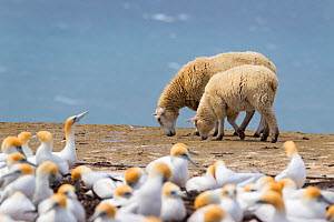 Domestic sheep (Ovis aries) ewe and lamb, walking past Australasian gannet (Morus serrator) breeding colony, with the sea in the background Cape, Kidnappers, Hawkes Bay, New Zealand, November.  -  Brent  Stephenson