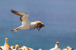 Australasian gannet (Morus serrator) flying low over colony, with nesting material in its bill, Cape Kidnappers, Hawkes Bay, New Zealand, November.  -  Brent  Stephenson