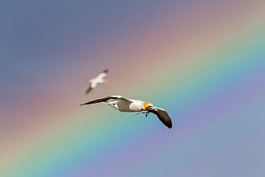 Australasian gannet (Morus serrator) flying with nesting material in its bill with a colourful rainbow in the background, Cape Kidnappers, Hawkes Bay, New Zealand, November.  -  Brent  Stephenson