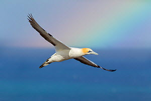 Australasian gannet (Morus serrator) flying against a dark sky with a colourful rainbow in the background, Cape Kidnappers, Hawkes Bay, New Zealand, November.  -  Brent  Stephenson