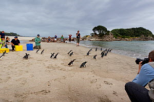 People watching Little penguins (Eudyptula minor) walking back to the sea after being rehabilitated following the MV Rena oil spill, Mount Maunganui Beach, Bay of Plenty, New Zealand, November 2011.  -  Brent  Stephenson