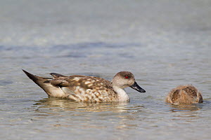 Crested duck (Lophonetta specularioides) with duckling feeding in shallow water just off the beach, Carcass Island, Falkland Islands, South Atlantic, December.  -  Brent  Stephenson