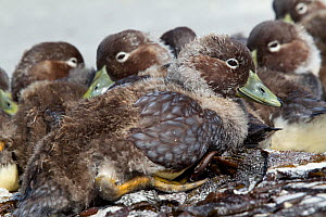 Falkland steamer duck (Tachyeres brachypterus) ducklings resting together on sandy beach, Carcass Island, Falkland Islands, South Atlantic, December.  -  Brent  Stephenson
