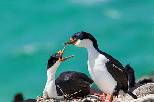 Imperial shag (Phalacrocorax atriceps atriceps) pair courting at their nest site, Saunders Island, Falkland Islands, South Atlantic, December.  -  Brent  Stephenson