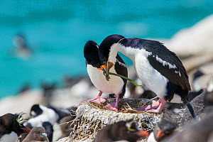 Imperial shag (Phalacrocorax atriceps atriceps) pair courting at their nest site, male presenting nesting material, Saunders Island, Falkland Islands, South Atlantic, December.  -  Brent  Stephenson