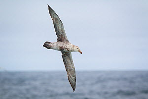 Northern giant petrel (Macronectes halli) in flight showing the underside of its wings, South Atlantic, January.  -  Brent  Stephenson