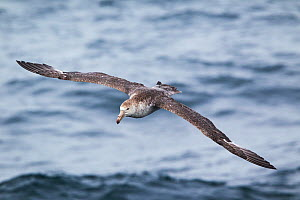 Northern Giant petrel (Macronectes halli) flying low over the sea, showing moult in the outer wing, with several inner primaries/outer secondaries missin, South Atlantic, January.  -  Brent  Stephenson