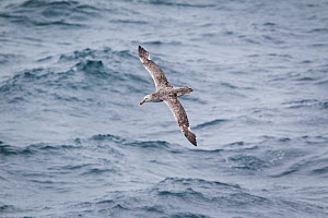 Northern giant petrel (Macronectes halli) flying over sea, during moult in the outer wing, with several inner primaries/outer secondaries missing, South Atlantic, January.  -  Brent  Stephenson