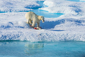 Male Polar bear (Ursus maritimus) feeding on a first year Polar bear cub it has just killed, Scott Inlet, Baffin Island, Canadian Arctic, August. Vulnerable species. - Brent  Stephenson