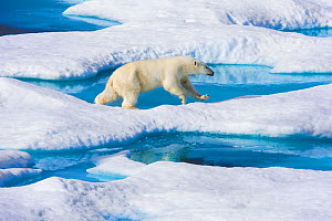 Young Polar bear (Ursus maritimus) running across melting sea ice, Scott Inlet, Baffin Island, Canadian Arctic, August. Vulnerable species.  -  Brent  Stephenson