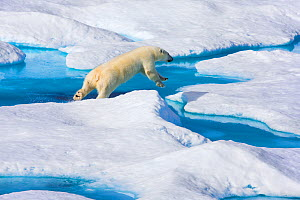 Young Polar bear (Ursus maritimus) leaping across a watery gap in sea ice, Scott Inlet, Baffin Island, Canadian Arctic, August. Vulnerable species.  -  Brent  Stephenson