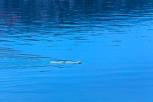 Female Polar bear (Ursus maritimus) and large second year cub swimming across calm water, Scott Inlet, Baffin Island, Canadian Arctic, August. Vulnerable species.  -  Brent  Stephenson