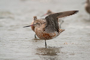 Bar-tailed godwit (Limosa lapponica) stretching its wings, Manawatu Estuary, Manawatu, New Zealand, February.  -  Brent  Stephenson