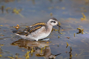 Adult male Red-necked phalarope (Phalaropus lobatus) in shallow water, moulting out of breeding plumage, Flatey, Western Fjords, Iceland, July.  -  Brent  Stephenson