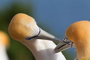Australasian gannet (Morus serrator) pair mutually preening during courtship, Cape Kidnappers, Hawkes Bay, New Zealand, November.  -  Brent  Stephenson