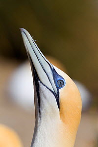 Australasian gannet (Morus serrator) portrait, 'sky-pointing' before flying out to sea, Cape Kidnappers, Hawkes Bay, New Zealand, November.  -  Brent  Stephenson
