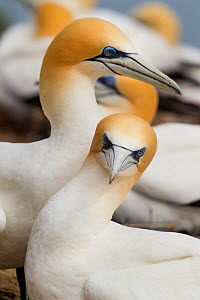 Australasian gannet (Morus serrator) pair courting at nest site, Cape Kidnappers, Hawkes Bay, New Zealand, November.  -  Brent  Stephenson