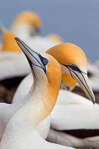 Australasian gannet (Morus serrator) pair courting at their nest site, Cape Kidnappers, Hawkes Bay, New Zealand, November.  -  Brent  Stephenson