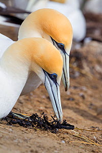 Australasian gannets (Morus serrator) pair displaying courtship behaviour at their nest site, Cape Kidnappers, Hawkes Bay, New Zealand, November.  -  Brent  Stephenson