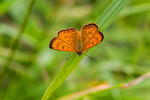 Male Common copper (Lycaena salustius) resting with wings open, showing the upperside patterning, Cape Kidnappers, Hawkes Bay, New Zealand, November.  -  Brent  Stephenson