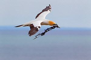 Australasian gannet (Morus serrator) in flight with nesting material in its bill, Cape Kidnappers, Hawkes Bay, New Zealand, November.  -  Brent  Stephenson