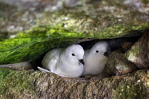 Snow petrel (Pagodroma nivea) pair huddle together at their nest site in a rock crevice, Brown Bluff, Antarctic Peninsula, Antarctica, January.  -  Brent  Stephenson