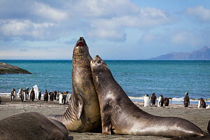 Two young Southern elephant seal (Mirounga leonina) males play fighting, with King penguins (Aptenodytes patagonicus) in the background, Gold Harbour, South Georgia, South Atlantic, January.  -  Brent  Stephenson