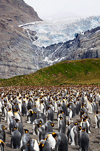 King penguin (Aptenodytes patagonicus) breeding colony with adults incubating eggs, Bertrab Glacier in the background, Gold Harbour, South Georgia, South Atlantic, January.  -  Brent  Stephenson