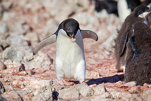 Male Adelie penguin (Pygoscelis adeliae) carrying a small stone for nest building, Brown Bluff, Antarctic Peninsula, Antarctica, January.  -  Brent  Stephenson