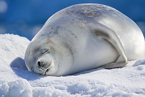 Crabeater seal (Lobodon carcinophaga) sleeping hauled out on sea ice, Neko Harbour, Antarctic Peninsula, Antarctica, January.  -  Brent  Stephenson