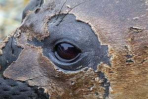 Southern elephant seal (Mirounga leonina) pup with moulting skin around the face, Fortuna Bay, South Georgia, South Atlantic, January.  -  Brent  Stephenson