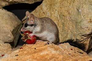 Female Asian garden dormouse (Eliomys melanurus) feeding on Rose hip on rock, Captive, occurs in Middle East and North Eastern Africa.  -  Kerstin  Hinze