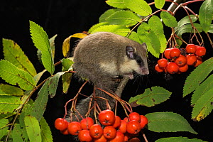 Forest dormouse (Dryomys nitedula) on a Rowan ash (Sorbus aucuparia) branch, with berries, Captive, occurs in Eastern Europe and Western Asia. - Kerstin  Hinze