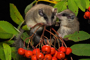 Two Forest dormice (Dryomys nitedula) on a Rowan ash (Sorbus aucuparia) branch, with berries, Captive, occurs in Eastern Europe and Western Asia. - Kerstin  Hinze