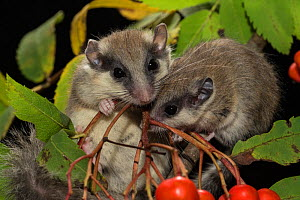 Two juvenile Forest dormice (Dryomys nitedula) on a Rowan ash (Sorbus aucuparia) branch, Captive, occurs in Eastern Europe and Western Asia. - Kerstin  Hinze