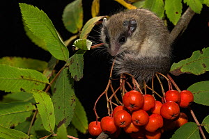 Juvenile Forest dormouse (Dryomys nitedula) on a Rowan ash (Sorbus aucuparia) branch, with berries, Captive, occurs in Eastern Europe and Western Asia. - Kerstin  Hinze