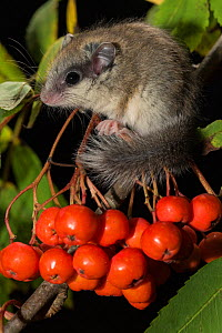 Juvenile Forest dormouse (Dryomys nitedula) on a Rowan ash (Sorbus aucuparia) berries, Captive, occurs in Eastern Europe and Western Asia. - Kerstin  Hinze