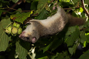 Fat / Edible dormouse (Glis glis) hanging upside down to reach Hazel nuts, Captive, occurs in Europe, August. - Kerstin  Hinze