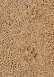 Lion tracks (Panthera leo) iMfolozi National Park, South Africa - Staffan Widstrand
