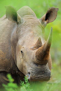RF- White rhinoceros (Ceratotherium simum) with long horn, iMfolozi National Park, South Africa (This image may be licensed either as rights managed or royalty free.) - Staffan Widstrand