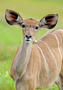 Greater Kudu, (Tragelaphus strepsiceros)  St Lucia wetlands National Park, South Africa - Staffan Widstrand
