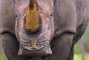 White rhinoceros (Ceratotherium simum) close up portrait,  iMfolozi National Park, South Africa - Staffan Widstrand