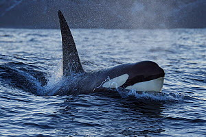 Orca / Killer whale (Orcinus orca) surfacing, Senja, Troms County, Norway, Scandinavia, January. Cetaceans are attracted to this area to feed on the large numbers of spawning Herring fish - Wild  Wonders of Europe / Widstrand