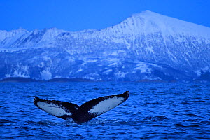 RF- Humpback whale (Megaptera novaeangliae) tail fluke above water before diving, Senja, Troms County, Norway, Scandinavia, January. Cetaceans are attracted to this area to feed on large numbers of sp... - Wild  Wonders of Europe / Widstrand