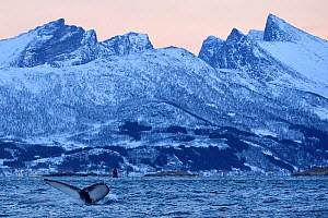 Humpback whale (Megaptera novaeangliae) tail fluke above water before diving, Senja, Troms County, Norway, Scandinavia, January. Cetaceans are attracted to this area to feed on the large numbers of sp... - Wild  Wonders of Europe / Widstrand