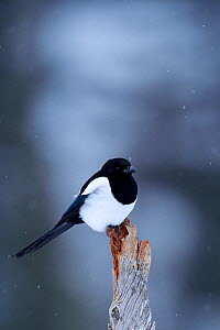 Eurasian magpie (Pica pica) perched on tree stump, Flatanger, Nord-Tr�ndelag, Norway, February.  -  Wild  Wonders of Europe / Widstrand